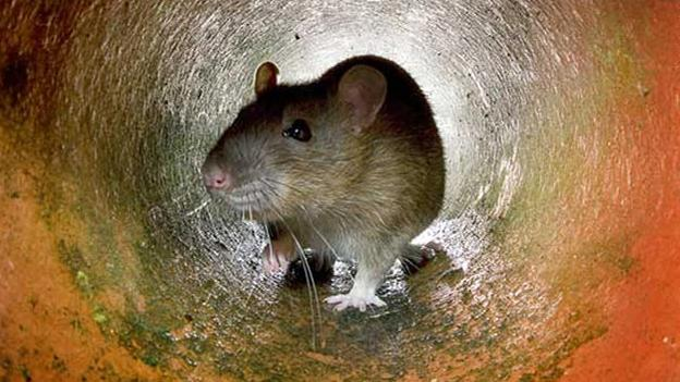 ratas2