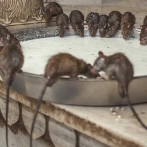 Expulsión de ratas